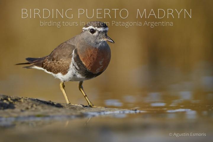 Rufous-chested plover / Rufous-chested Dotterel (Charadrius modestus)
