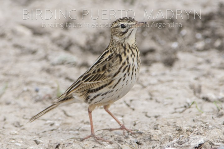 Short-billed Pipit (Anthus furcatus)