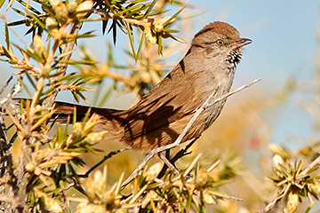 Patagonian Canastero, endemic species. Puerto Madryn, Chubut, Argentina