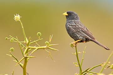Carbonated Sierra Finch, endemic species. Puerto Madryn, Chubut, Argentina