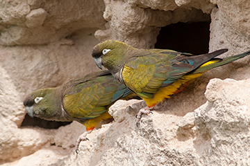 Burrowing parrots. Puerto Madryn, Chubut, Argentina
