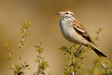 Rusty-backed Monjita, endemic species. Puerto Madryn, Chubut, Argentina