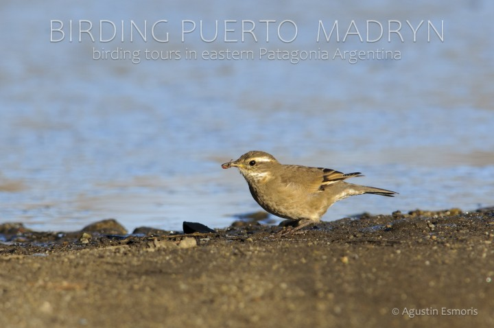 Bar-winged Cinclodes (Cinclodes fuscus)