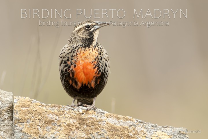 Long-tailed Meadowlark (Leistes loyca)