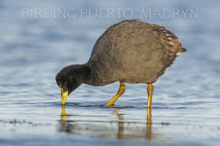 Red-gartered Coot (Fulica armillata)