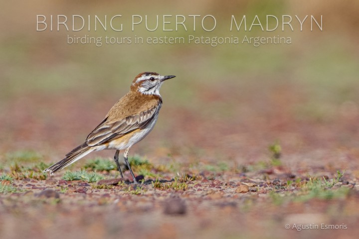 Rusty-backed Monjita (Xolmis rubetra)