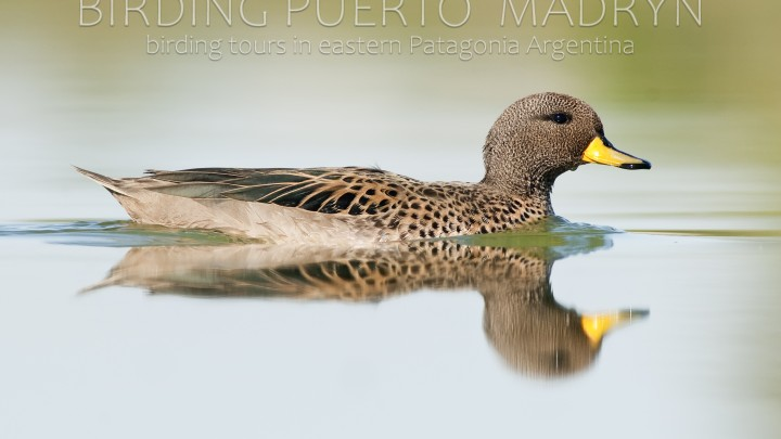 Speckled Teal (Anas flavirostris)