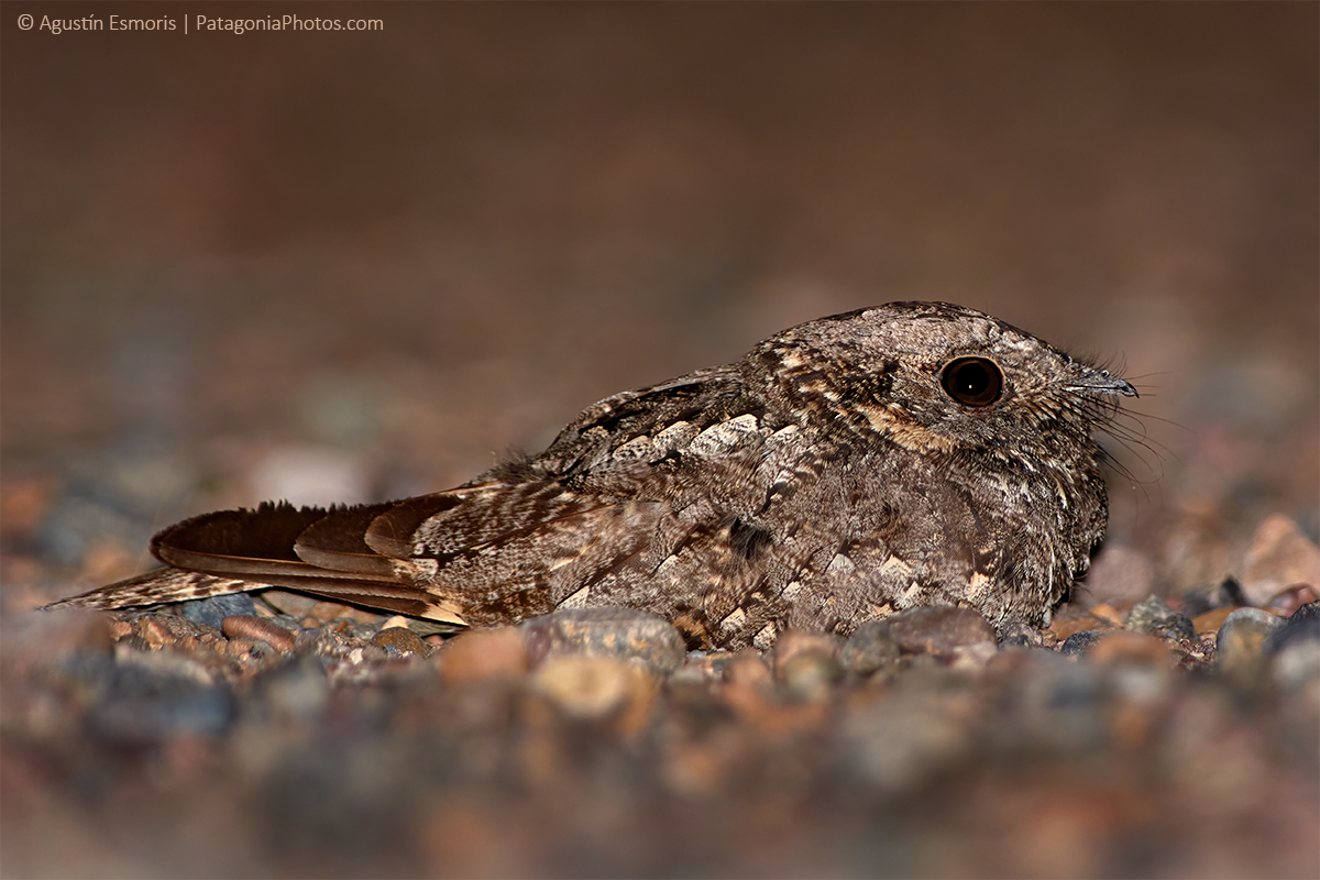 Band-winged Nightjar (Caprimulgus longirostris) in Puerto Madryn close to Península Valdés, Patagonia Argentina. Picture taken at night during a 2 day birding tour.
